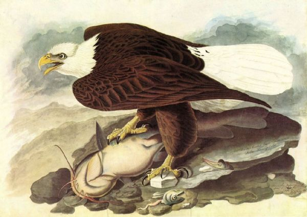 Audubon, John James: Bald Eagle 2. American Bird, Ornithology Fine Art Print/Poster. Sizes: A4/A3/A2/A1 (001007)